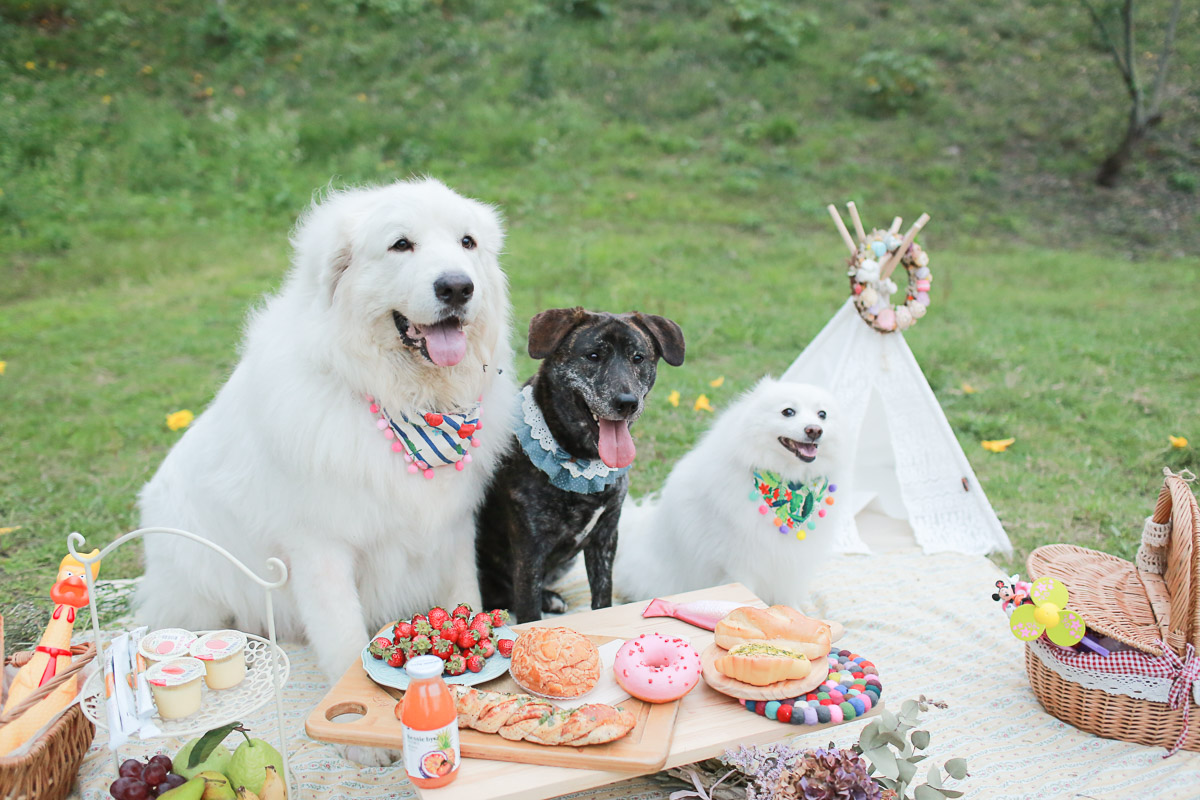 大白熊,庇里牛斯山犬,婚紗,寵物,寫真,毛孩,攝影,狗狗,喵星人,汪星人,寵物攝影價格,小型犬,台北,台中,寵物寫真,黃金獵犬寫真,柴犬,米克斯,狐狸犬,大型犬,