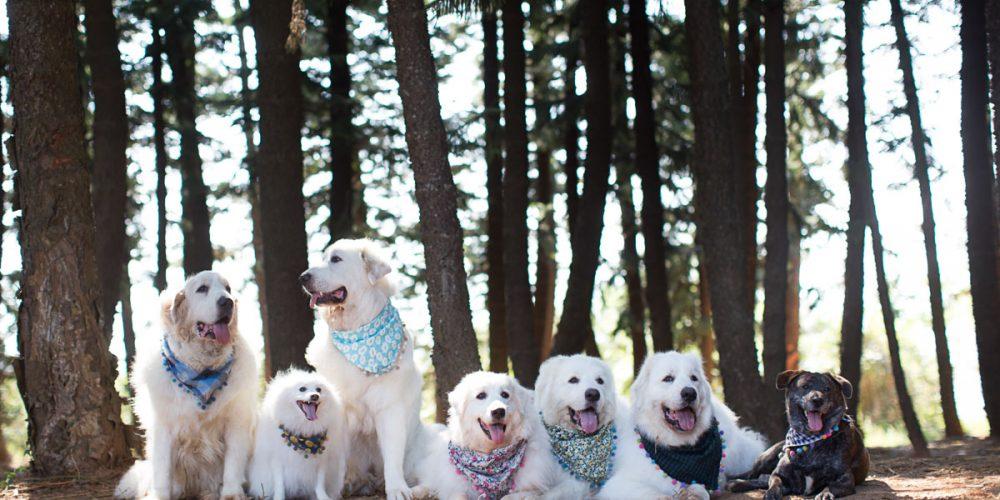 台中,台北,吉娃娃,喵星人,婚紗,寫真,寵物,寵物寫真,寵物攝影價格,小型犬,攝影,柴犬,毛孩,汪星人,狗狗,黃金獵犬寫真,大白熊,庇里牛斯山犬,外拍,臘腸,價格