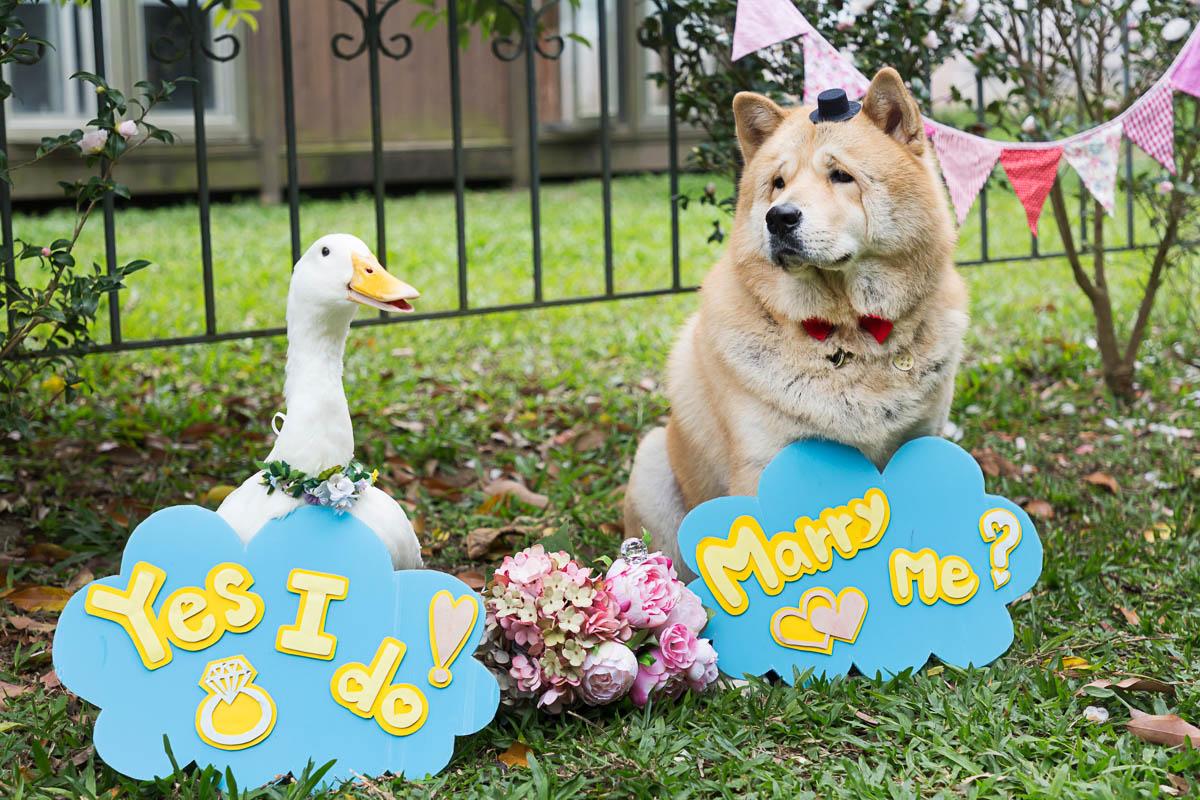 《寵物攝影》胡迪與鴨鴨的世紀毛孩主題婚禮 / 鬆獅犬鴨子