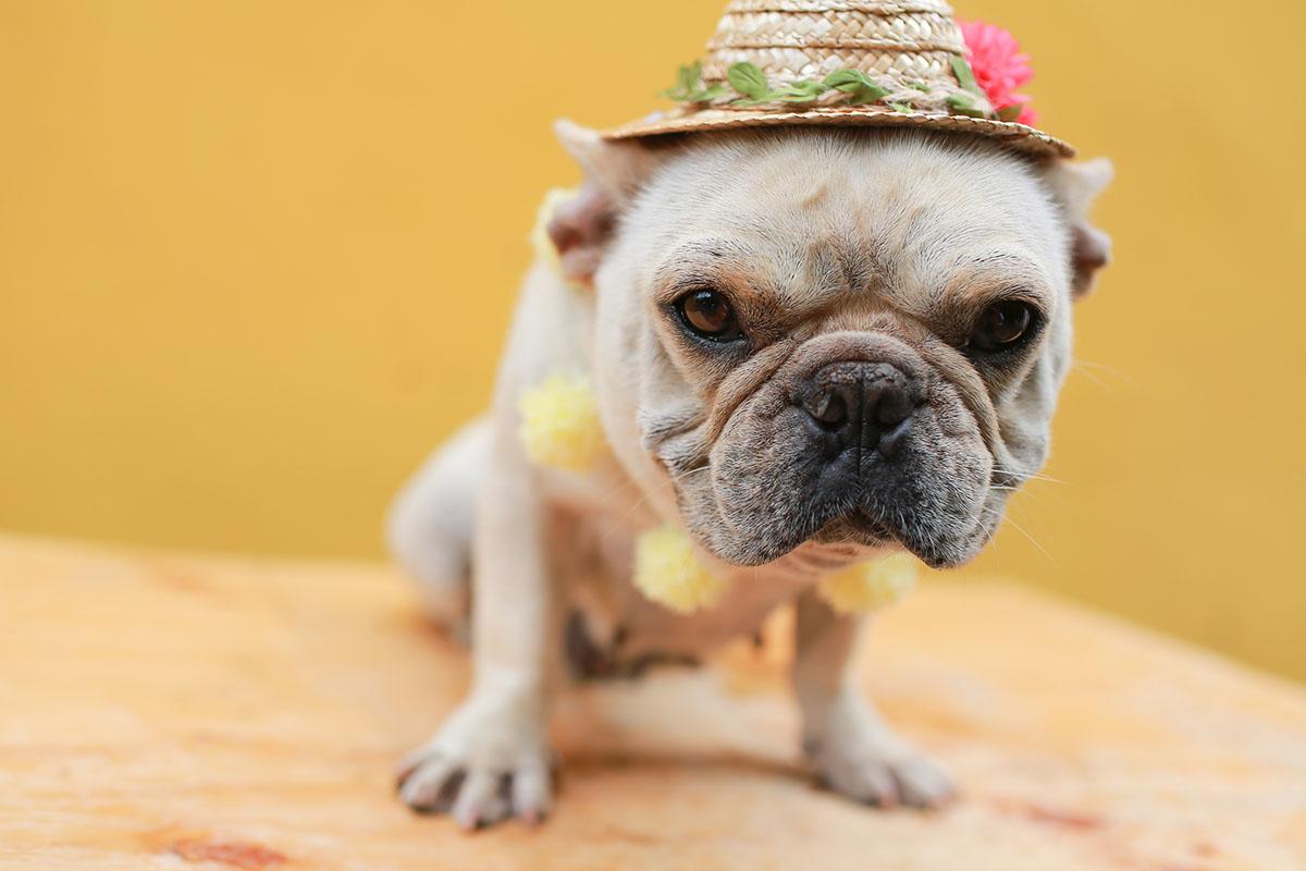 《寵物攝影》鄉村系寵物明星 / 台中法國鬥牛犬法鬥英國鬥牛犬